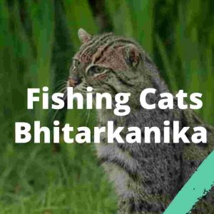 Fishing cats Bhitarkanika UPSC IAS