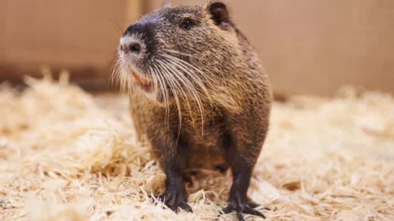 Muskrat decline in North America